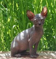 Котята донского и канадского сфинкса (для души и разведения)