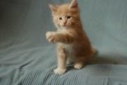 Продаются котята Мейн кун с документами