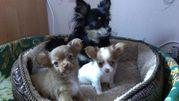 Продадим щенков Чихуа-хуа,  два кобеля,  3 месяца