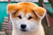 Высокопородный,  перспективный щенок акита ину