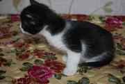 чёрно-белая  маленькая  кошечка