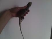 Продаю ящерицу Агаму