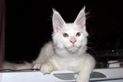 Белоснежный Кот Мейн Кун