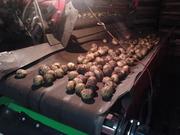 Картофель семенной  большие объемы