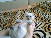 Продаются Шотландские котята:))