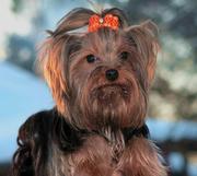 Йоркширского терьера щеночек яркий с шелковой шерстью