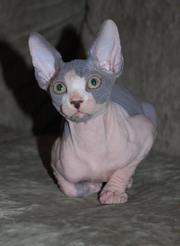 продаю котят породы канадский сфинкс
