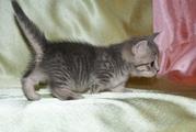 Котята манчкины,  кошки-таксы